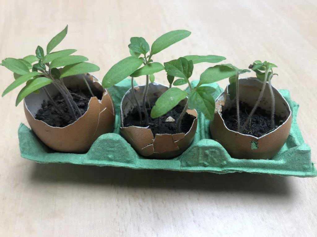 Plants de tomates dans des coquilles d'œufs